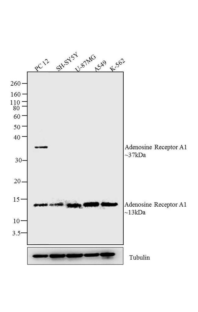 ADORA1 Antibody in Western Blot (WB)