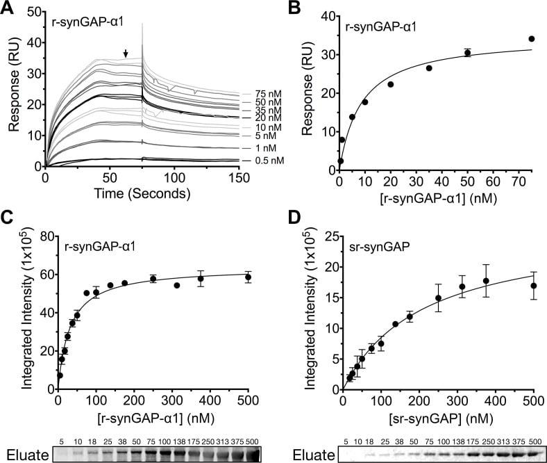 SynGAP Antibody