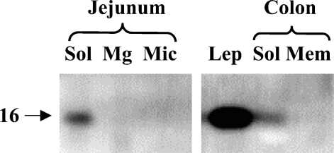 Leptin Antibody