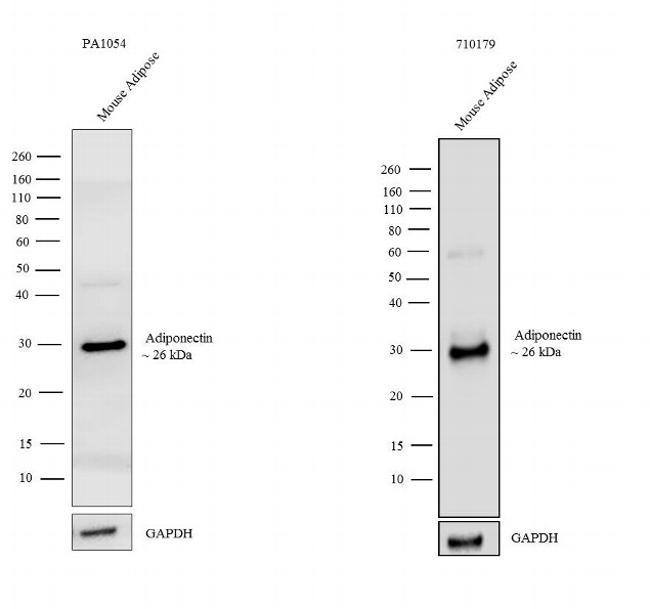 Adiponectin Antibody in Independent antibody