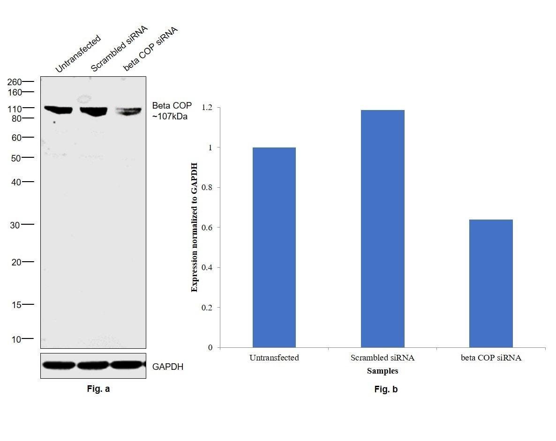 beta COP Antibody in Knockdown