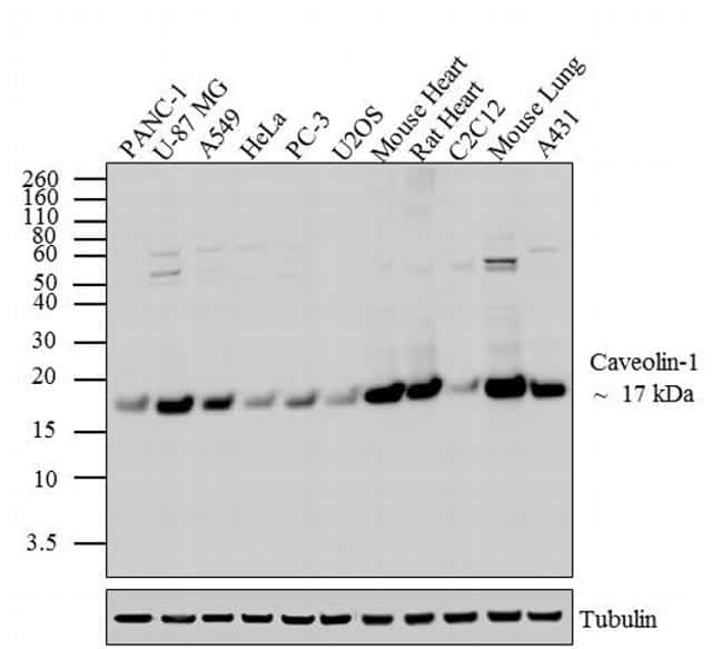 Caveolin 1 Antibody in Western Blot (WB)