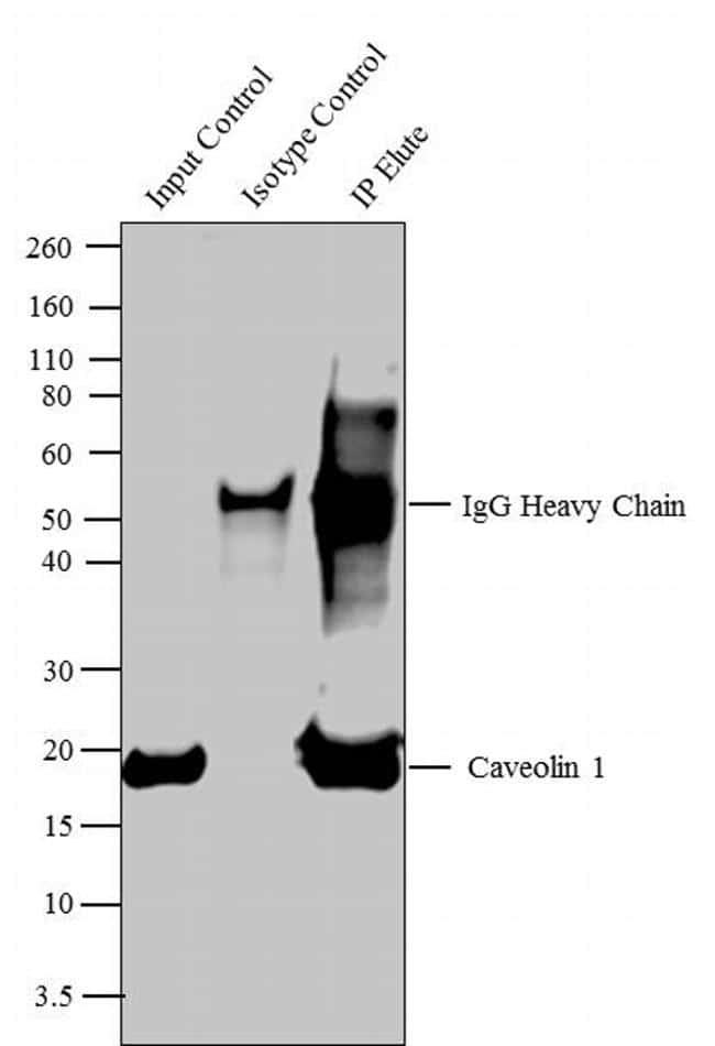 Caveolin 1 Antibody in Immunoprecipitation (IP)
