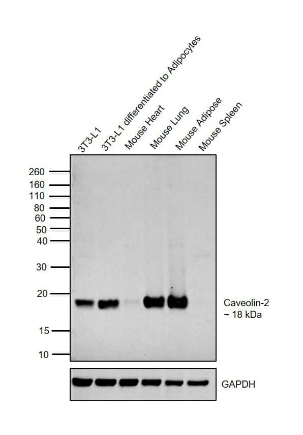 Caveolin 2 Antibody in Relative expression