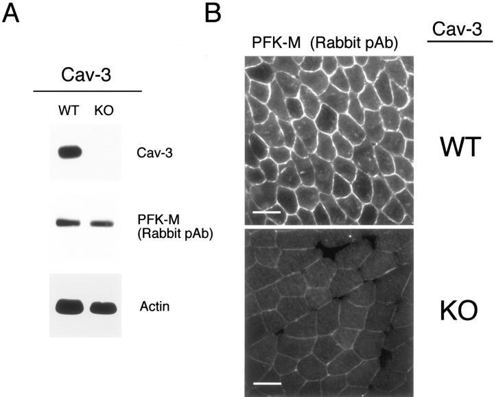 Caveolin 3 Antibody
