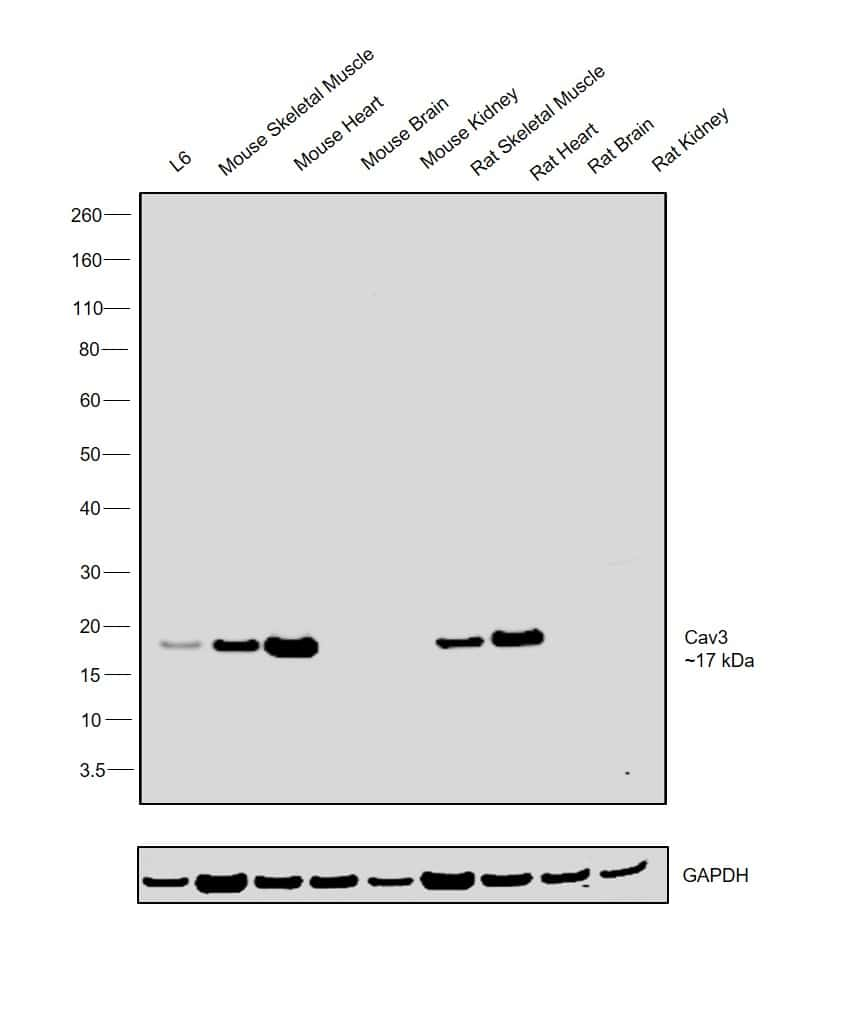 Caveolin 3 Antibody in Relative expression