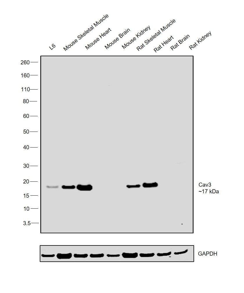 Caveolin 3 Antibody in Western Blot (WB)