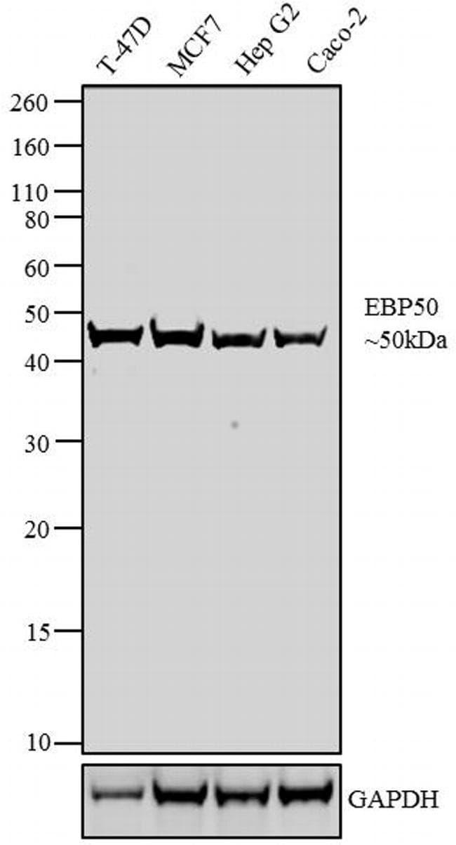 EBP50 Antibody in Western Blot (WB)