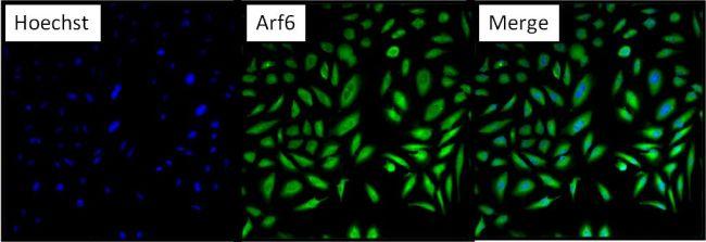 ARF6 Antibody in Immunofluorescence (IF)