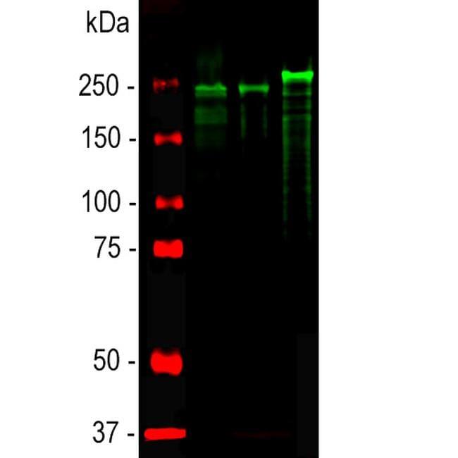 NF-H Antibody in Western Blot (WB)