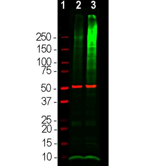 Ubiquitin Antibody in Western Blot (WB)