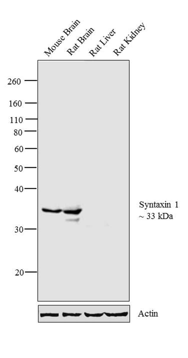 Syntaxin 1 Antibody in Western Blot (WB)