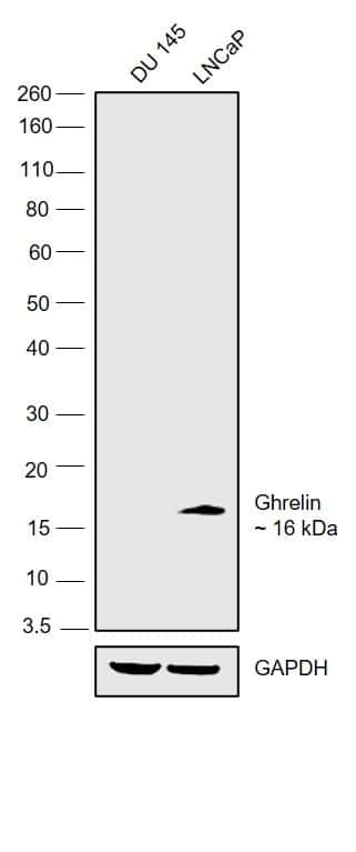 Ghrelin Antibody in Relative expression