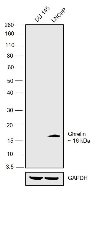 Ghrelin Antibody in Western Blot (WB)