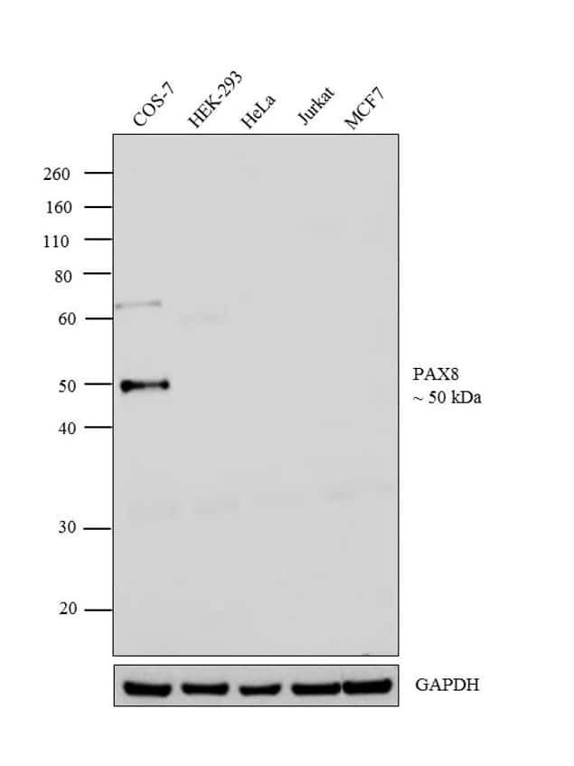 PAX8 Antibody in Relative expression