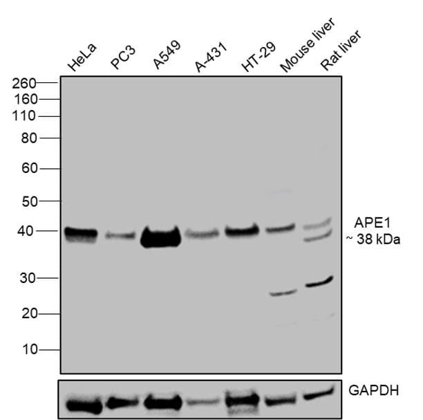 APE1 Antibody in Western Blot (WB)