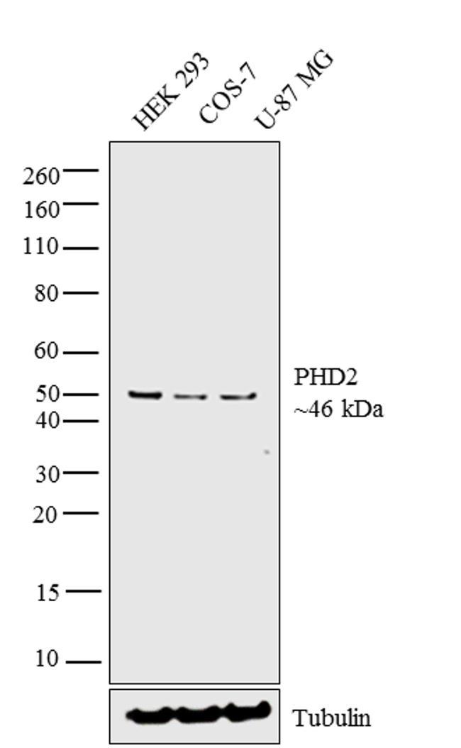 PHD2 Antibody in Western Blot (WB)