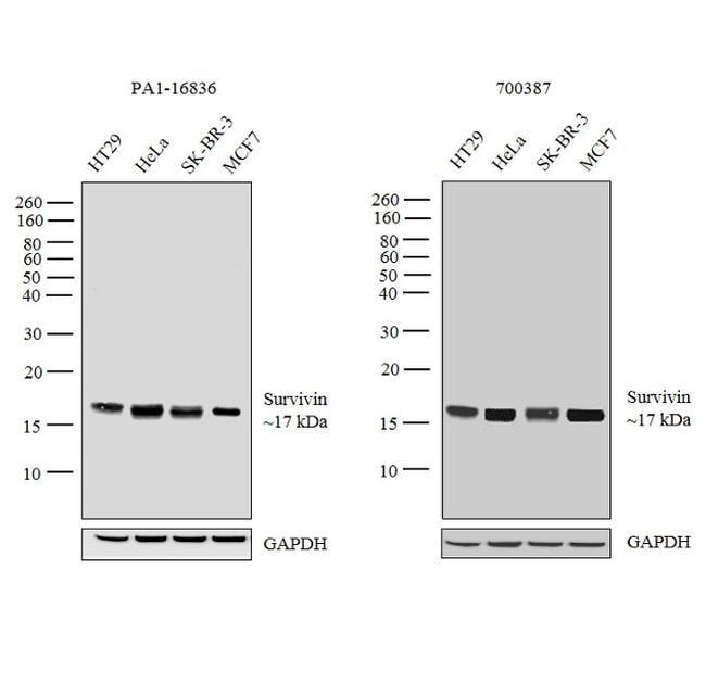 Survivin Antibody in Independent antibody