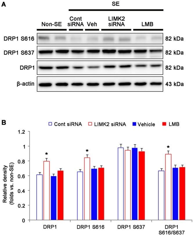 DNM1L Antibody