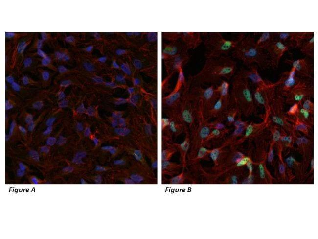 HIF1A Antibody in Immunocytochemistry (ICC)