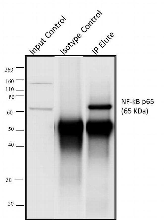 NFkB p65 Antibody in Immunoprecipitation (IP)