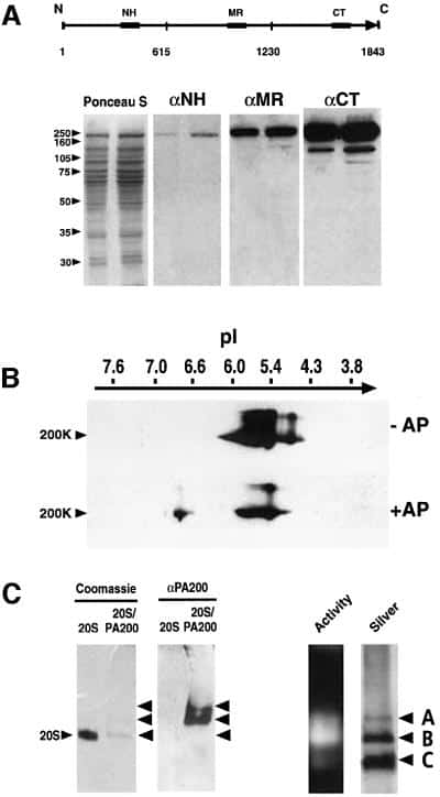 PSME4 Antibody