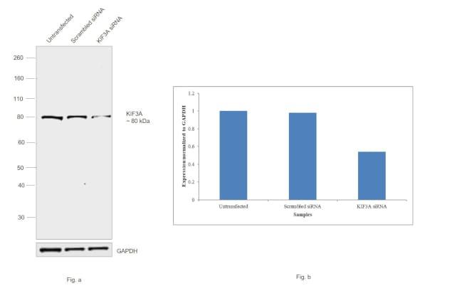 KIF3A Antibody in Western Blot (WB)