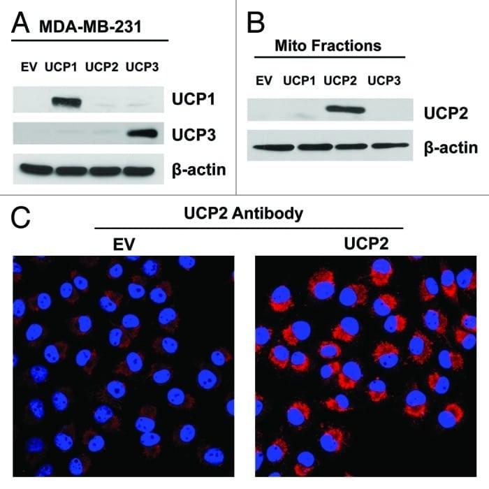 UCP3 Antibody
