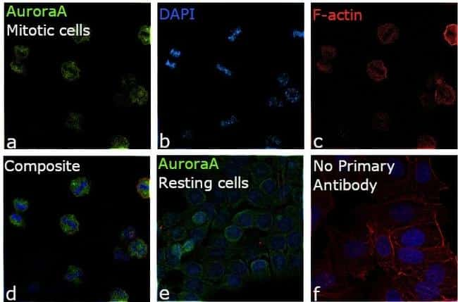 Aurora A Antibody in Relative expression