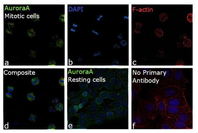 Aurora A Antibody in Immunocytochemistry (ICC/IF)