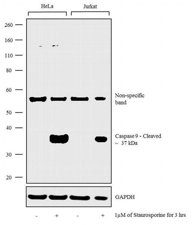 Caspase 9 (active) Antibody in Western Blot (WB)