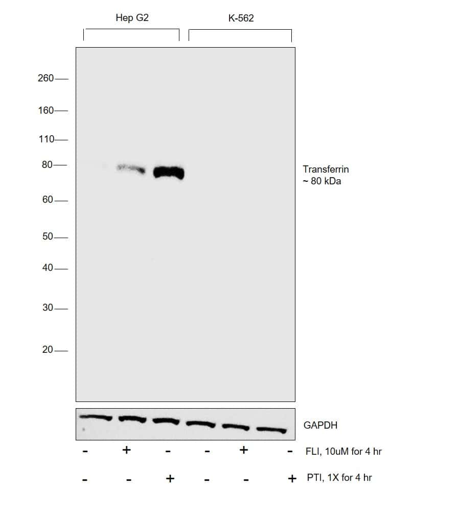 Transferrin Antibody in Relative expression