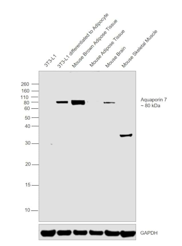 Aquaporin 7 Antibody in Cell Treatment