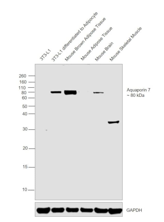 Aquaporin 7 Antibody in Western Blot (WB)