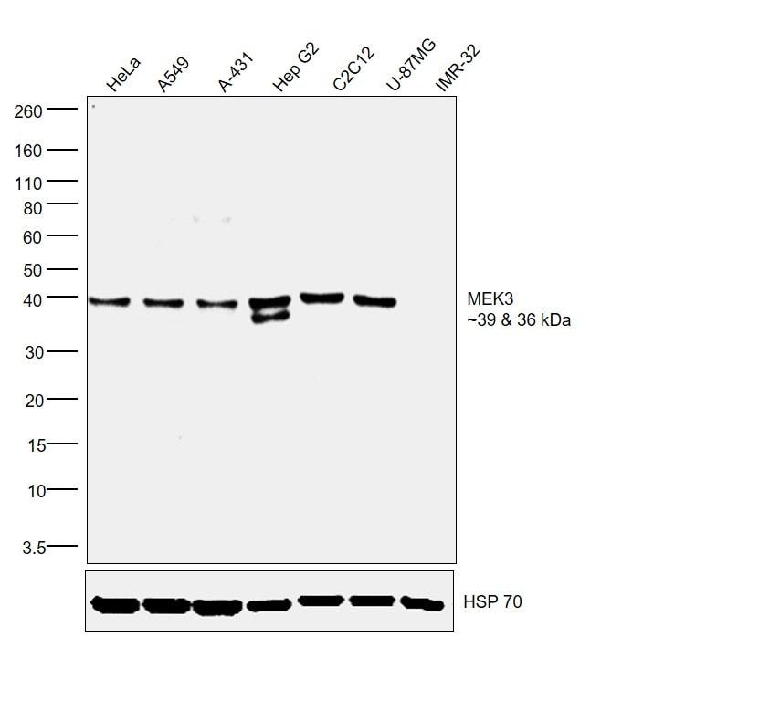 MEK3 Antibody in Western Blot (WB)