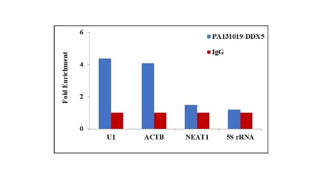DDX5 Antibody in RNA Immunoprecipitation (RIP)