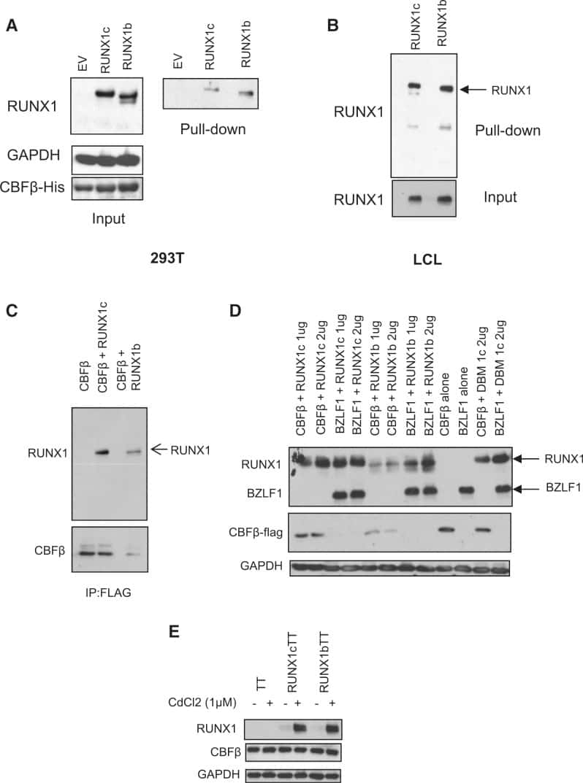 CBF beta Antibody