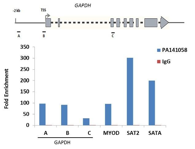 Histone H2B Antibody in ChIP assay (ChIP)