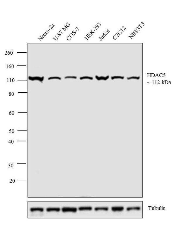 HDAC5 Antibody in Western Blot (WB)