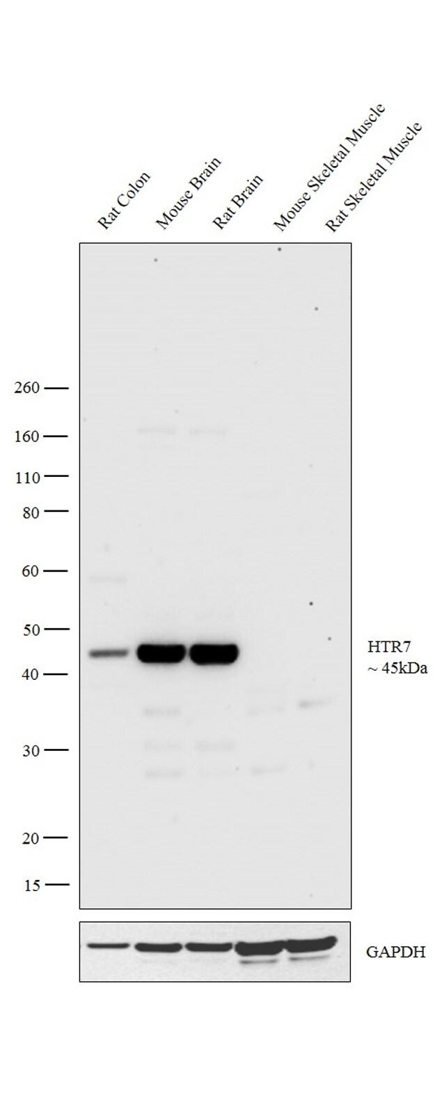 HTR7 Antibody in Western Blot (WB)