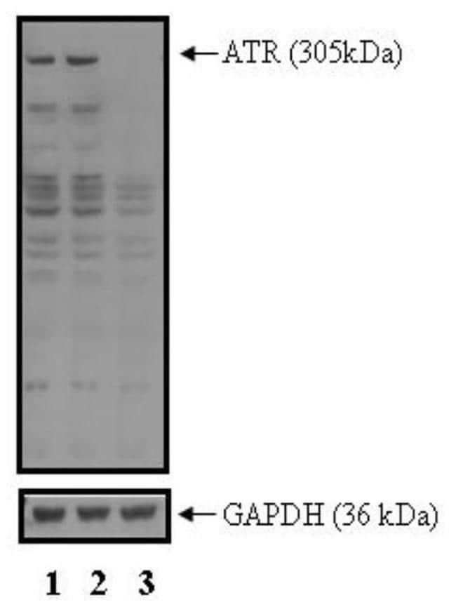 ATR Antibody in Western Blot (WB)