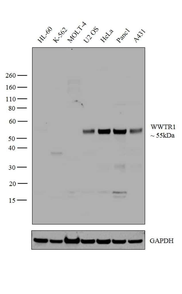 WWTR1 Antibody in Relative expression