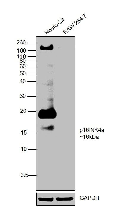 p16INK4a Antibody in Western Blot (WB)