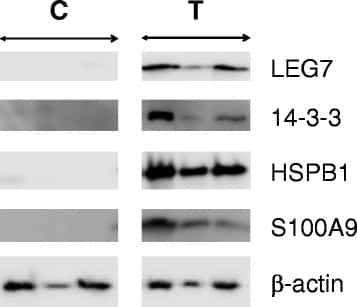 S100A9 Antibody
