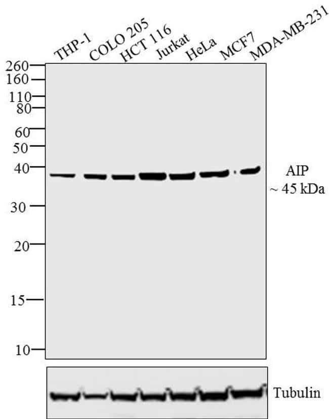 AIP Antibody in Western Blot (WB)