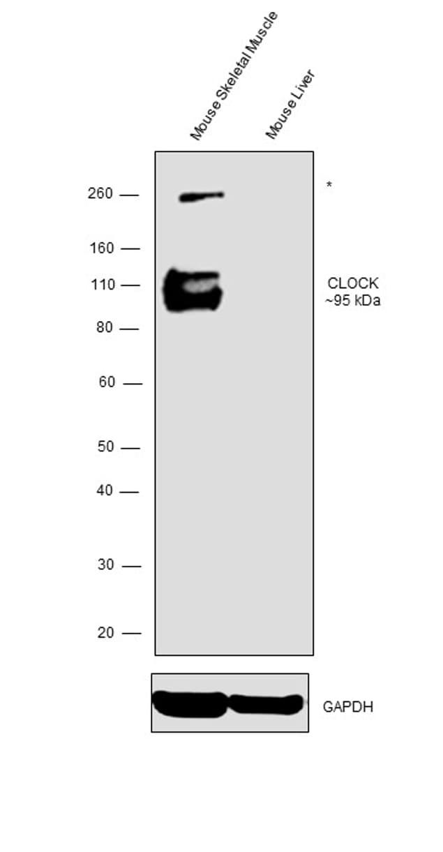 CLOCK Antibody in Relative expression