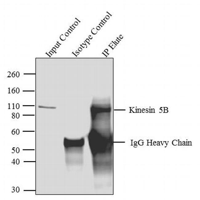 Kinesin 5b Antibody