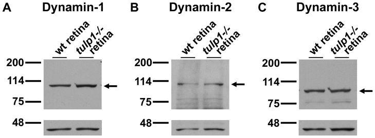 Dynamin 1 Antibody