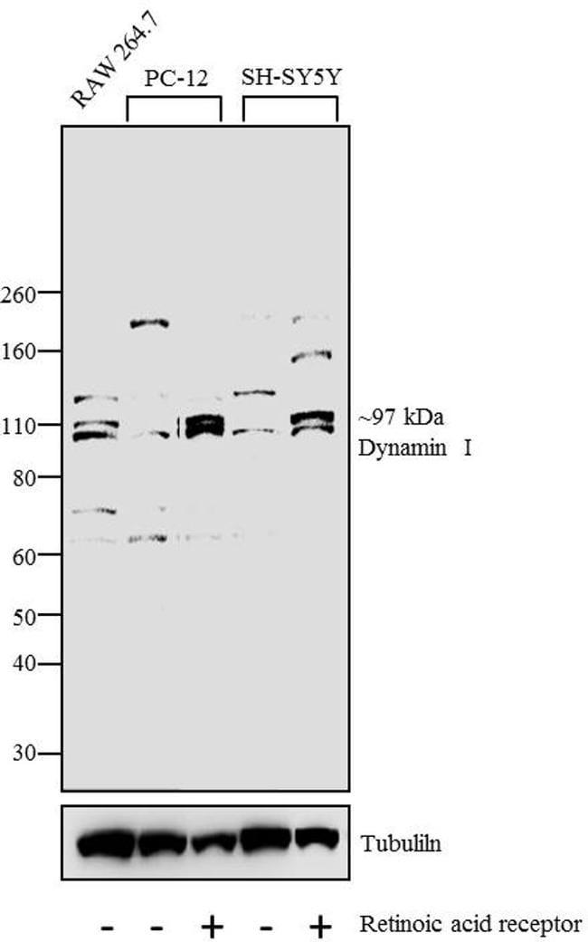 Dynamin 1 Antibody in Western Blot (WB)