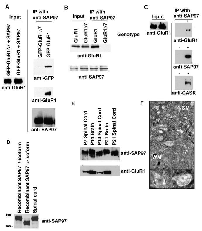 SAP97 Antibody